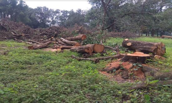 illegal cutting of trees